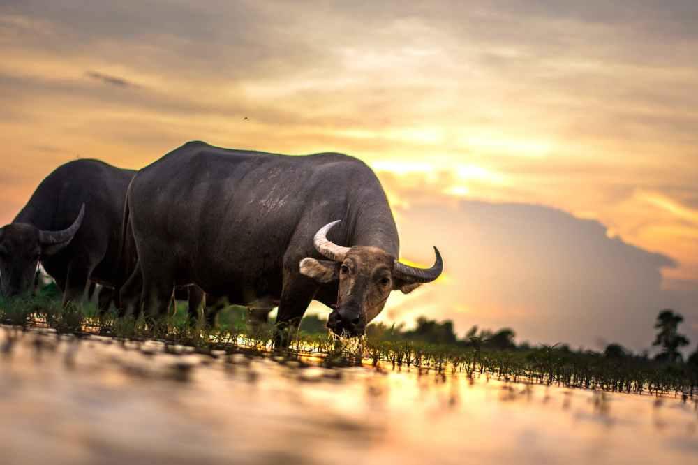 agriculture animals asia buffalo
